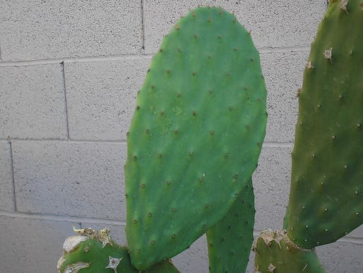 The sap of Mexican cactus might yield new forms of biodegradable plastics. Image courtesy of Wikimedia user ZooFari.