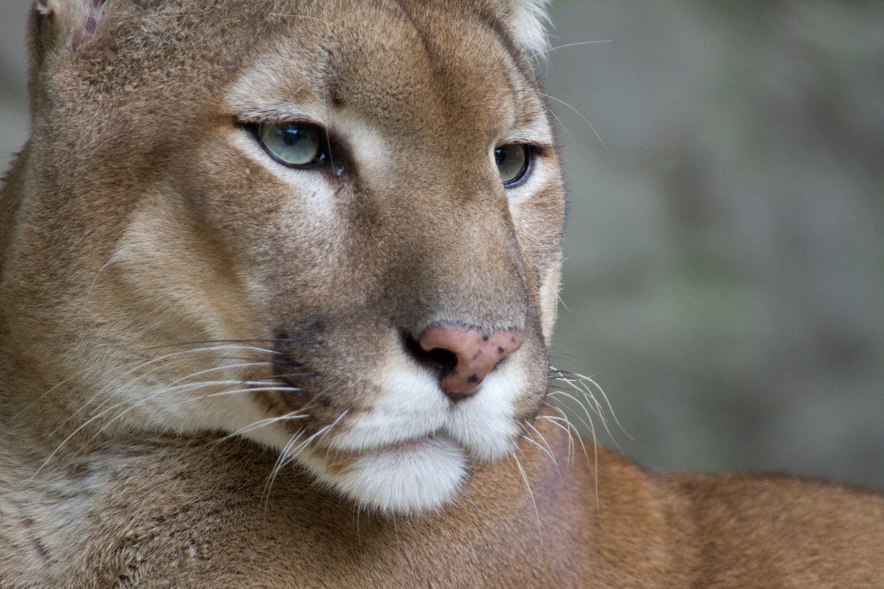 A new research study indicates that puma hunting behavior changes when they  are living in proximity c416b03e65f7