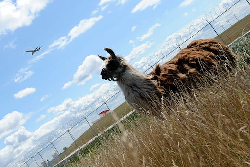 Unconventional lawn-mower (Image: MIRA OBERMAN/AFP/Getty). Image via newscientist.com