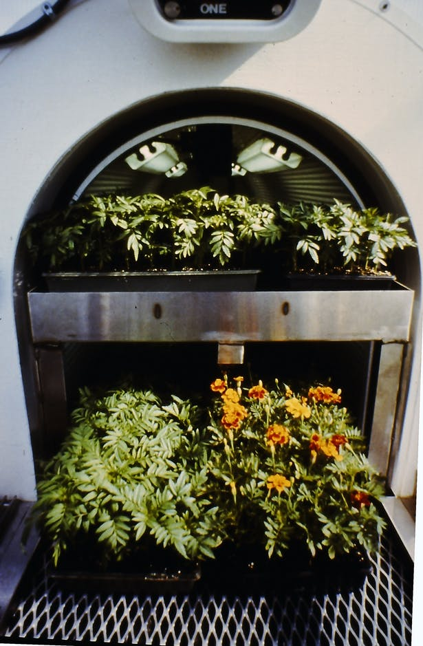 inside the heavily insulated chamber with backup electric grow lights and stainless steel telescoping benches