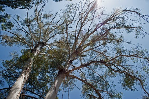 Eucalyptus trees are a fire hazard in California and across the world. Image courtesy of Needpix.