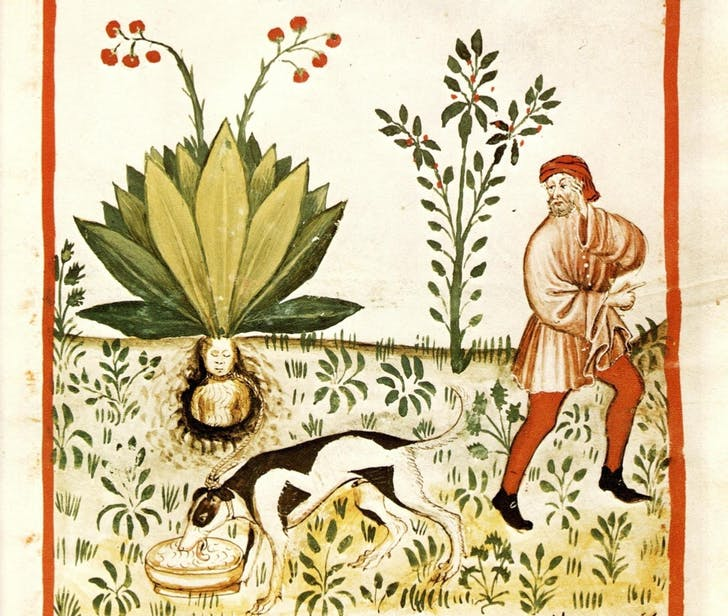 'Mandragora officinarum' or mandrake is a root that can resemble a human body and has hallucinogenic properties. According to medieval superstitions, when the root was dug up it would release a scream that would kill any human that heard it. Credit: Wikipedia
