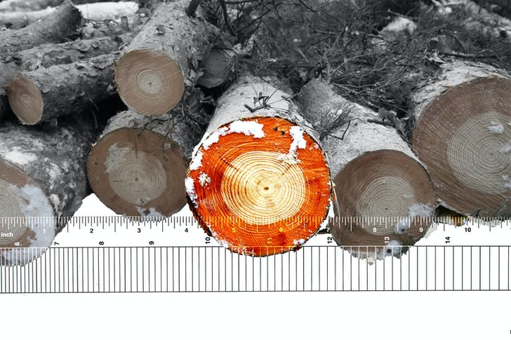 Cross sections through frozen Scots Pine reveal changes in wood color, quality, and growth rate following the Chernobyl disaster. © Timothy Mousseau and Adela Park
