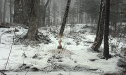 Beavers: Nature's landscape architects
