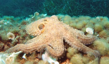 "Scientists discover ""Octlantis"", an underwater city engineered by octopuses"