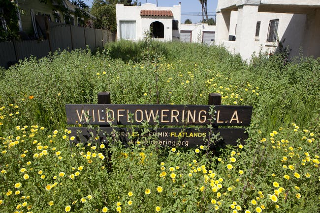 One of the sites of Fritz Haeg's 'Wildflowering LA' in bloom. Credit- LAND