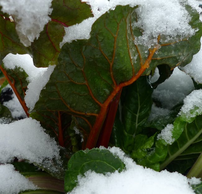 Rainbow chard in the raised beds