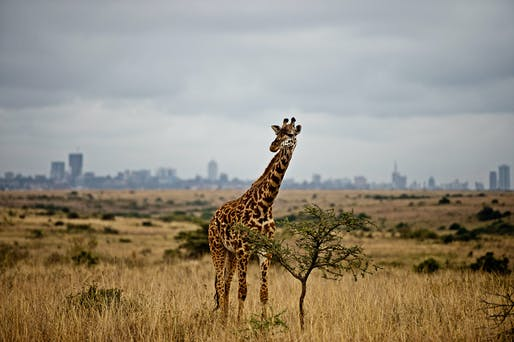 Photo 1: A giraffe against the skyline of Nairobi in Nairobi National Park © James Morgan WWF US