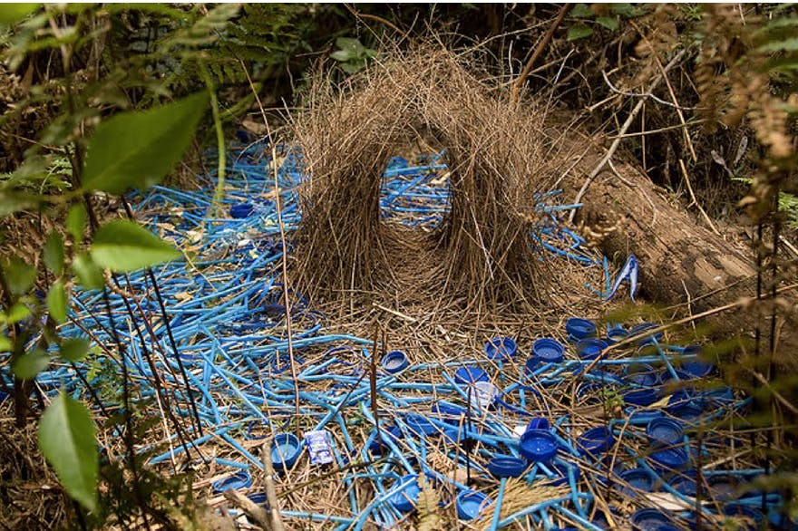 Whats Wrong With The Primitive Hut Explores Architectures  The Bowerbird Is Named For Its Very Particular Mating Ritual Where The  Male Constructs An Elaborate Bowerstructure And Decorates It With A Shrine  Of
